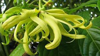 Khasiat Bunga Kenanga