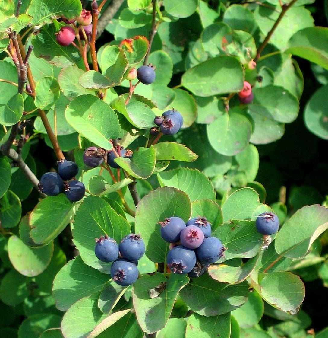 Piante Da Frutto Sempreverdi il mondo in un giardino: bacche per tutti i gusti e tutte le