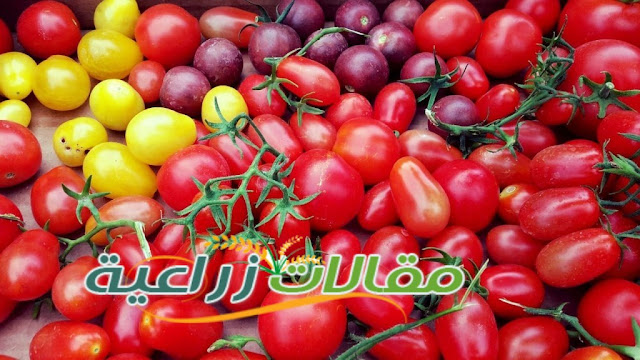 كل ما يخص زراعة الطماطم - مقالات زراعية