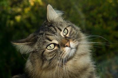 قطط الغابة النرويجية : Norwegian Forest Cats