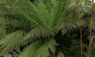 Woolly Tree Fern Dicksonia Antarctic
