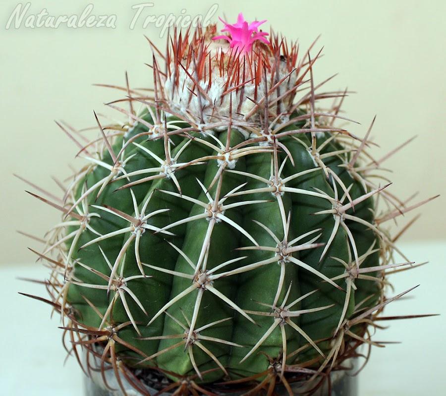 Vista del cactus conocido como Melón de Monte, Melocactus curvispinus