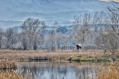 Bernat pescaire sobrevolant l'estany de Sils