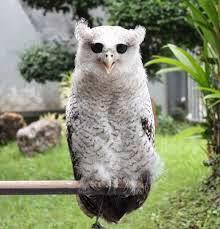 Harga burung hantu bubo sumatranus