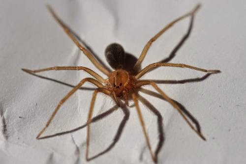 picadura de araña parda