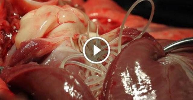Voici Ce Qui Arrive Dans Votre Corps Quand Vous Mangez Du Porc (Vidéo À Voir)