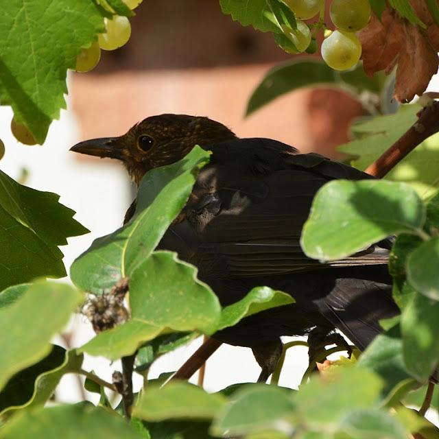 Merle noir juvénile (Turdus merula), passereau de la famille des turdidés.