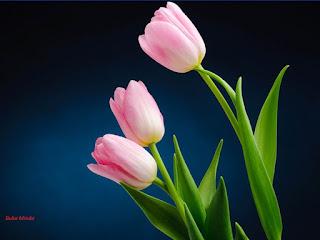 tulip flower,bunga tulip,amsterdam,ciri ciri orang berjaya,hidup bebas tanpa hutang,hutang banyak nak buat macamana?