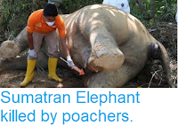 https://sciencythoughts.blogspot.com/2018/11/sumatran-elephant-killed-by-poachers.html