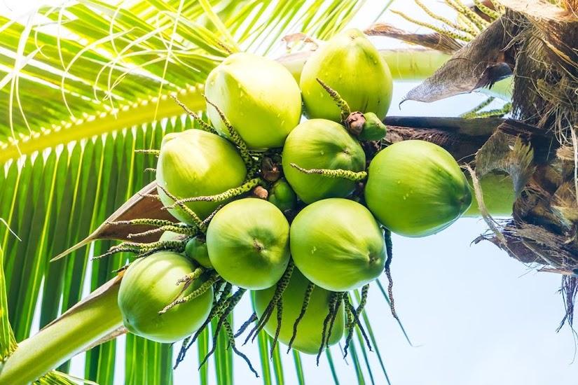 Bibit kelapa pandan wangi asli 1000 Salatiga