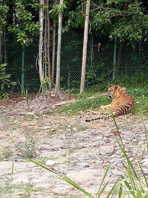 Harimau Belang di Bukit Gambang Safari Park