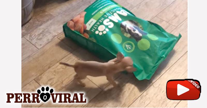 Chihuahua combate saco grande de comida y demuestra todo su encanto