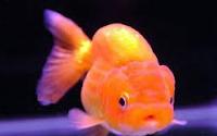Jenis Ikan Koki Lionhead ikan hias kepala singa