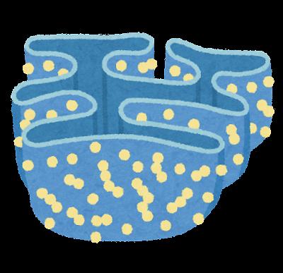 小胞体とリボソームのイラスト