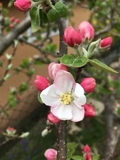 Apfelbaum Weiß Rosa Blühend