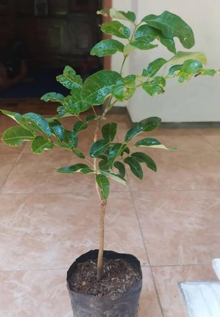bibit tanaman kelengkeng matalada Jawa Barat