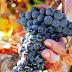 Испания празднует день темпранильо - своего самого известного вина