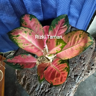 aglonema red kochin aglaonema