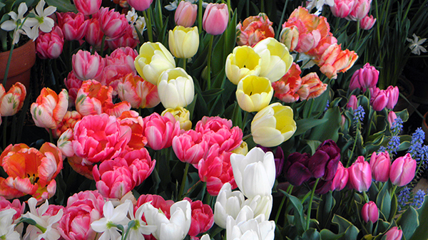Many Multicolored Tulips with White Daffodils