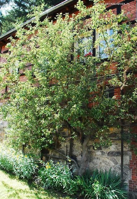 drzewo przy elewacji