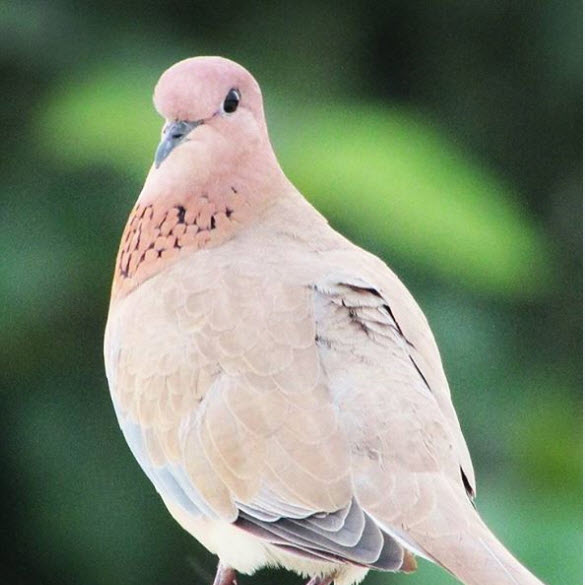 laughing dove facts
