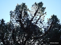 Monterey pine with cones - Wellington Botanic Gardens, New Zealand