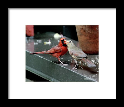 This is a screen shot of a framed photograph which is and available via Fine Art America. It features a male cardinal (left) feeding a female cardinal (right). Info re this print is @ https://fineartamerica.com/featured/cardinal-love-2-patricia-youngquist.html?product=framed-print