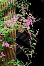Hai sắc hoa ty-gôn