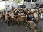 Diduga Penyaluran Daging Qurban Pemerintah Aceh Timur Tidak Tepat Sasaran