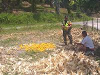 Ringankan Beban Petani, Babinsa Koramil 04/SB Terjun Langsung Keladang Bantu Petani Panen Jagung