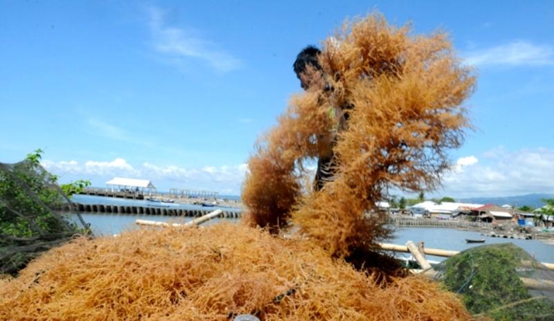 KKP Dorong Industrialisasi Rumput Laut Nasional Demi Genjot Nilai Ekspor
