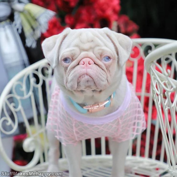 Milkshake the Pink Pug with White Fur Has Become the Internet Celebrity