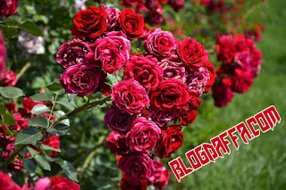Bunga mawar dipercaya dapat mendatangkan keberuntungan