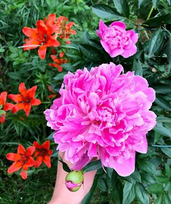 Pinkki pioni kasvaa ruskoliljojen vieressä