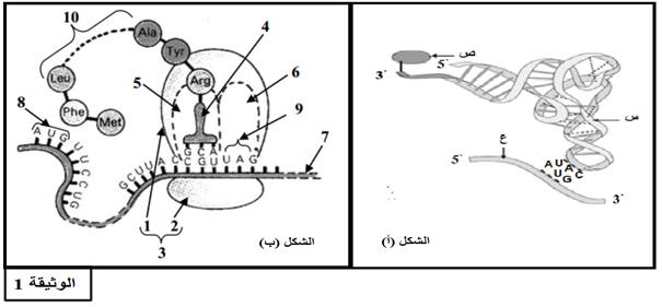 تمرين حول تركيب البروتين