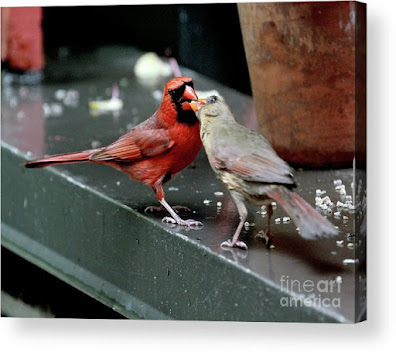 This is a screen shot of a photograph rendered on acrylic and available via Fine Art America. It features a male cardinal (left) feeding a female cardinal (right). Info re this print is @ https://fineartamerica.com/featured/cardinal-love-2-patricia-youngquist.html?product=acrylic-print