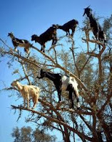 north african piebald arboreal goats