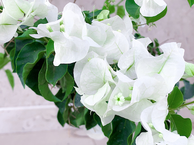 White Paper flowers with green leaves stock image