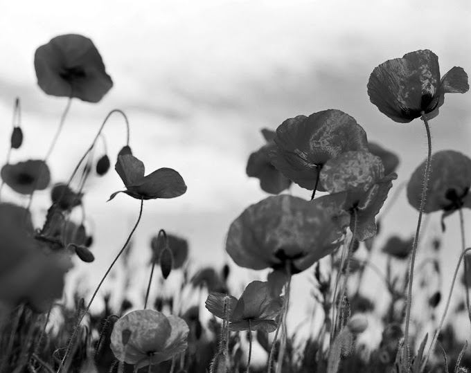 POETRY RANT - FIELDS OF POPPIES