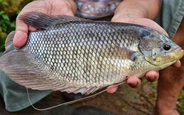 Jenis Ikan Gurame SOANG