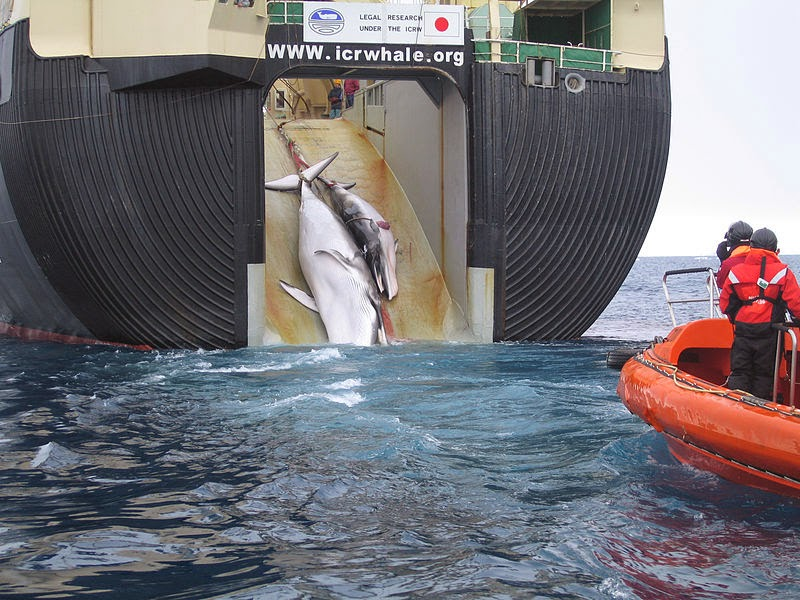 Australia wins whaling case against Japan - Japan Factory Ship Nisshin Maru Whaling Mother and Calf