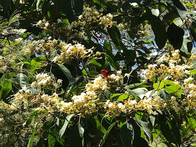 Clerodendrum and scarlet honeyeater. © Alison Plummer