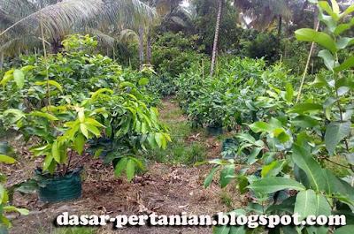 Tips Budidaya Jambu Air Dalam Polybag Agar Berhasil