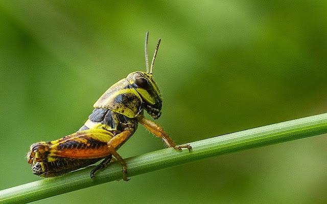 Saltamontes Aztec Spurthroat Grasshopper