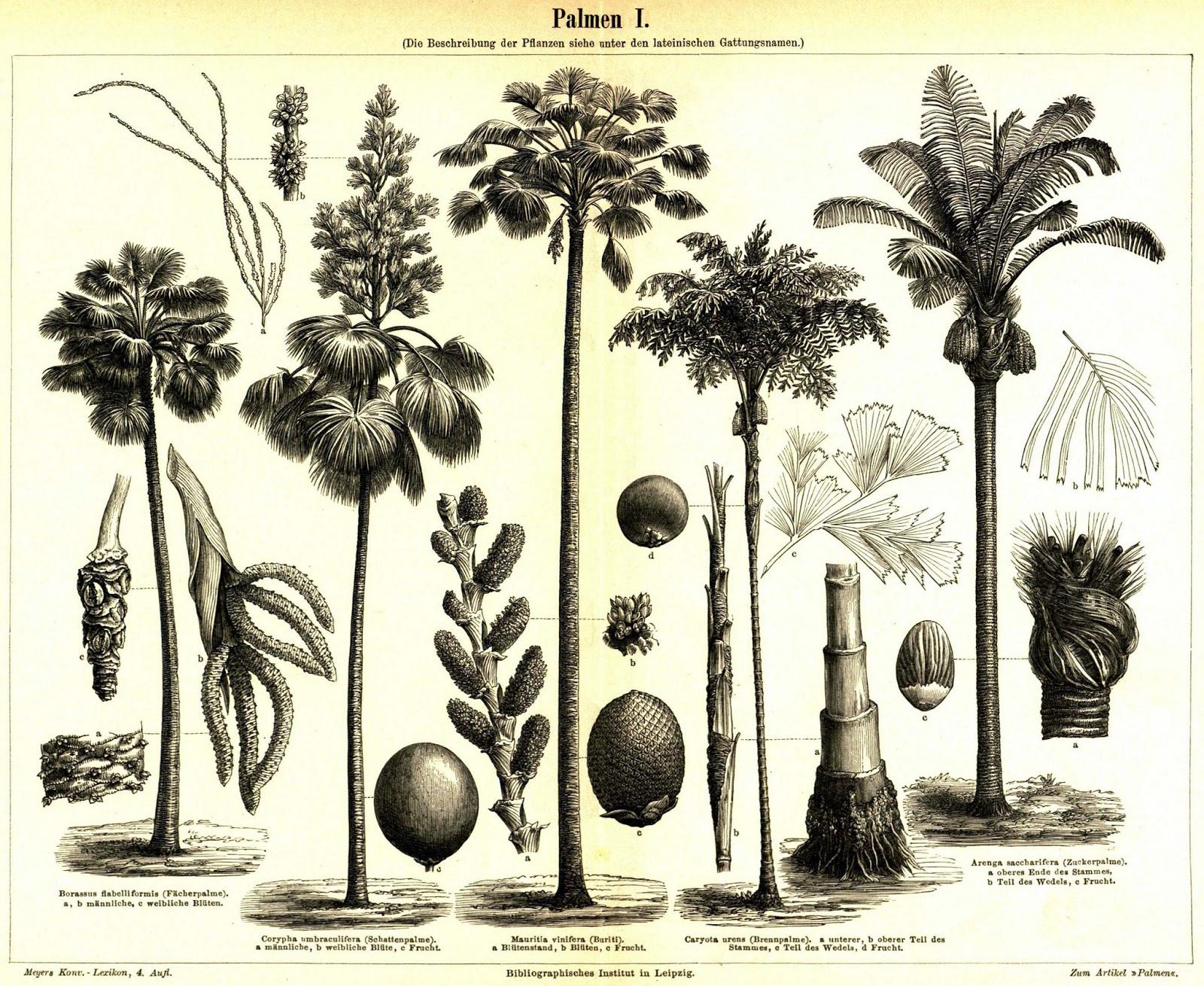Buriti (Mauritia vinifera)