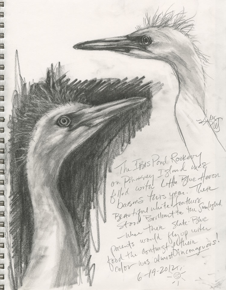 ...from my sketchbook, pencil sketches of young Little Blue Herons.