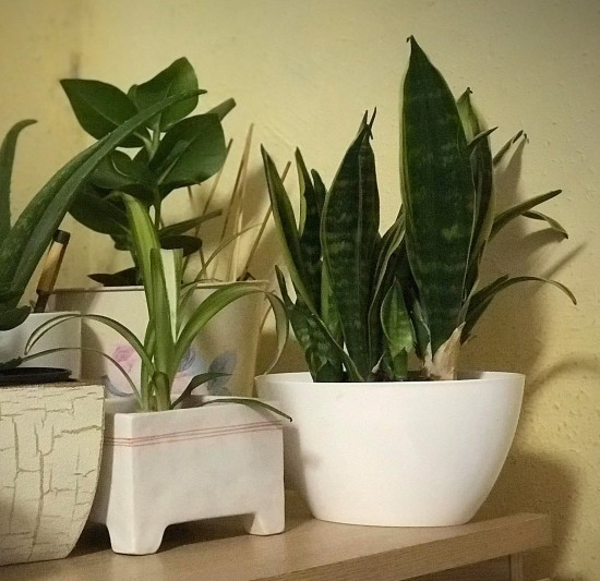 Plant Feature : The Sansevieria Trifasciata, One Tough Plant
