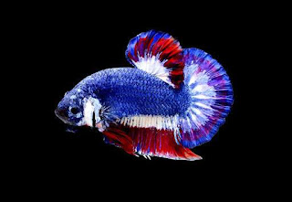 Siamese Fighting Fish named the National Aquatic Animal of Thailand