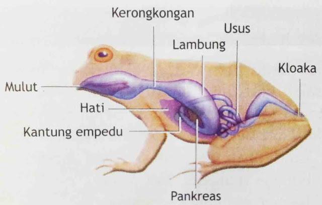 Sistem Pencernaan Amphibi