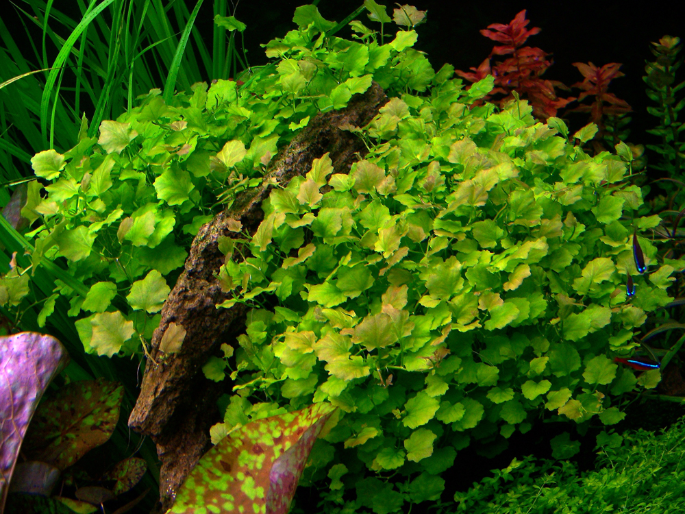 Cây thủy sinh bình quả thảo rất đẹp khi được trồng thành cụm